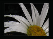 Lovely Looking Flower Prints - Daisy Drops Print by Debra     Vatalaro