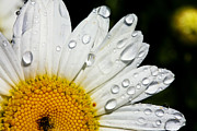 Sun Photographs Photos - Daisy Drops by Rick Berk