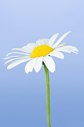 Bellis Framed Prints - Daisy Flower (bellis Perennis) Framed Print by Lawrence Lawry