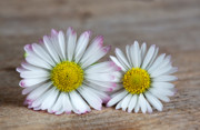 Bellis Prints - Daisy Flowers Print by Nailia Schwarz