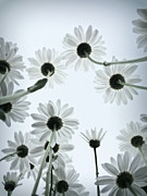 Black And White Art - Daisy Flowers Rear View by photograph by Anastasiya Fursova