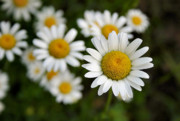 Bellis Prints - Daisy Fresh Print by Kristin Elmquist