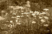 Garden Of Daisies Framed Prints - Daisy Garden in sepia Framed Print by Suzanne Gaff