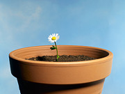 Digital Scale Posters - Daisy In A Very Big Clay Pot Poster by Phil Ashley