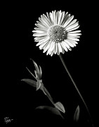 Flower Photos Framed Prints - Daisy in Black and White Framed Print by Endre Balogh