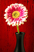 Walls Art - Daisy in black vase by Garry Gay