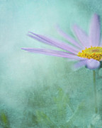 Purple Flower Posters - Daisy In Mist Poster by Sharon Lapkin
