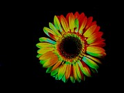 Histogram Photos - Daisy in Multicolor by Marsha Heiken
