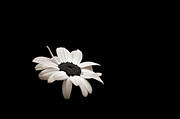 Wisconsin Wildflowers Prints - Daisy in the Dark Print by Bill Pevlor