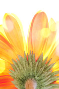 Patterned Prints - Daisy in the sun Print by Al Hurley