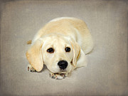 Labrador Photos - Daisy by Jacky Parker