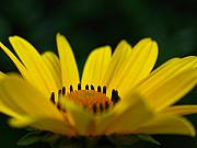 Flowers Yellow Daisy Prints - Daisy Print by Juergen Roth