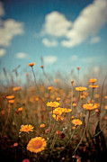 Selective Focus Framed Prints - Daisy Meadow Framed Print by Boston Thek Imagery