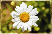Bellis Framed Prints - Daisy on Canvas Framed Print by George Oze