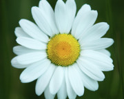Jouko Mikkola Metal Prints - Daisy on green background Metal Print by Jouko Mikkola