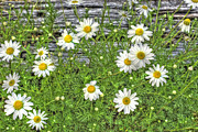 White Daisy Framed Prints - Daisy Patch Framed Print by Benanne Stiens