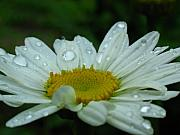 White Daisies Photos - Daisy Portrait by Juergen Roth