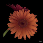 Gerber Daisy Prints - Daisy Tilt Print by Heather Kirk