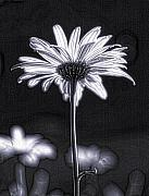 Cultivate Framed Prints - Daisy Framed Print by Tony Cordoza