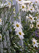 Picket Fence Originals - Daisys escaping by Diane  Greco-Lesser