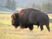 Bison Photos Posters - Dakota Bison Bull Poster by Marion Muhm