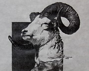 Bighorn Prints - Dall Ram Print by Karon Melillo DeVega
