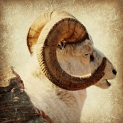 Horn Bear Framed Prints - Dall Sheep Framed Print by Barbara Henry