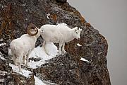 Dall Sheep On A Ledge Print by Tim Grams