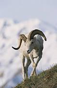 Wild Animals Photo Prints - Dalls Sheep Ovis Dalli, Ram,  Denali Print by Roy Toft
