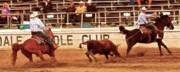 Rodeo Framed Prints - Dally Off Framed Print by Gus McCrea