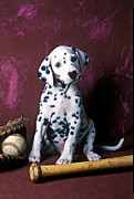 Sits Posters - Dalmatian puppy with baseball Poster by Garry Gay