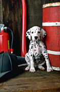 Puppy Sitting Framed Prints - Dalmatian puppy with firemans helmet  Framed Print by Garry Gay