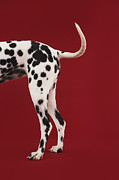 Dalmatian Dog Prints - Dalmatian Rear Print by Moodboard