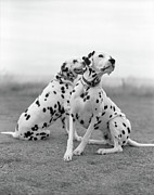 Animals Photos - Dalmatians by Tadas Kazakevicius Copyrigted