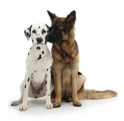 Dalmation Posters - Dalmation And German Shepherd Poster by Mark Taylor
