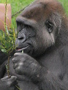 Gorilla Photos - Damn This Is Good by Tina Marie
