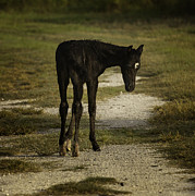 Damp Cracker Foal Print by Lynn Palmer