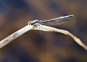 Sue Baker Art - Damsel Fly backlit by the sun by Sue Baker