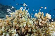 Humbug Photos - Damselfish Among Coral by Dave Fleetham - Printscapes