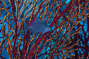 Damselfish Framed Prints - Damselfish Framed Print by Matthew Oldfield