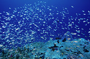 Damselfish Prints - Damselfish Shoal Print by Alexis Rosenfeld