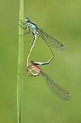 Dragonfly Macro Photos - Damselflies by Pics For Merch