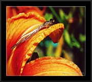 Belinda Witzenhausen - Damselfly
