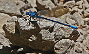 Damselfly Prints - Damselfly Print by Daniele Smith