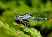 Damselfly Prints - Damselfly Print by Marc Bittan