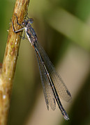 Damselfly Prints - Damselfly Print by Sharon  Talson