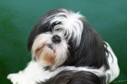 Shih Tzu Posters - Danae Poster by Julie L Hoddinott