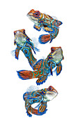 Ballet Art Prints - Dance Of Mandarin Fish Print by Visarute Angkatavanich