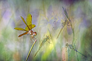 Dragonflies Metal Prints - Dance of the Dragonflies Metal Print by Bonnie Barry