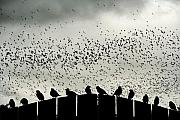 Flock Prints - Dance of the Migration Print by Jan Piller